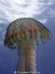 Jellyfish named Pelagia noctiluca by Francesco Pacienza 